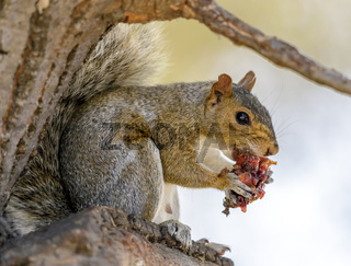 Eastern Gray Squirrel eating fruit