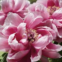 Paeonia suffruticosa pink flower