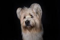 Adult elo dog on black background