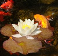 Goldfish and orfe swimming under water lily 'Nymphaea Gonnere'