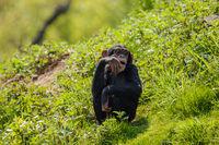 Junger Schimpanse (Pan troglodytes) beim Spielen