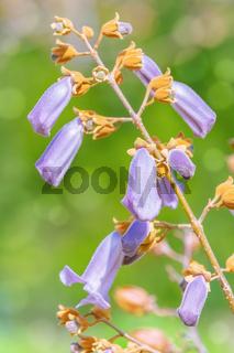 Paulownia Fortunei in Bloom