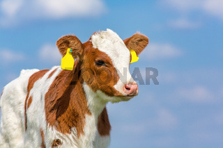 Portrait of newborn calf with blue sky