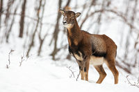 Uncertain wild female mouflon sheep standing and looking aside in snowy forest.
