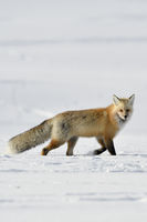 im dichten Winterfell... Amerikanischer Rotfuchs *Vulpes vulpes fulva*