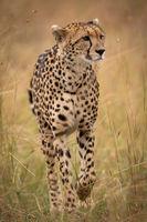 Cheetah walking through long grass on savannah