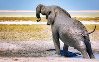 Elefant im Matsch, Etosha-Nationalpark, Namibia, (Loxodonta africana) | elephant in the mud, Etosha National Park, Namibia, (Loxodonta africana)