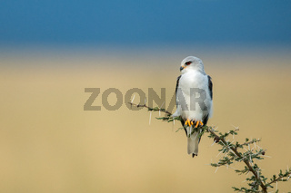 Black-shouldered kite perches on thornbush looking left