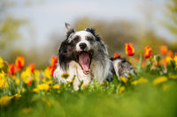 Border collie dog with spring flowers