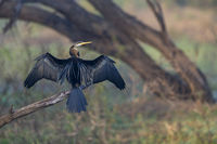 Darter or snakebirds in the family Anhingidae, Bharatpur, Rajasthan, India