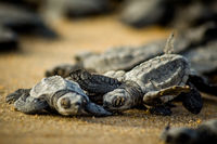 Baby sea turtles struggle for survival after hatching in Mexico