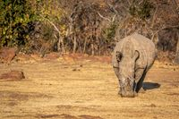 White rhino standing in the grass.