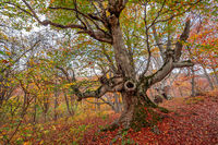 Old beech in autumn forest