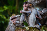 A newborn baby monkey snuggles mom for warmth