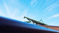 Gottesanbeterin Mantis auf dem Balkon