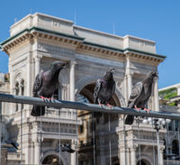 Milan, Italy - 30 June 2019: View of Pigeons, Piazza Duomo