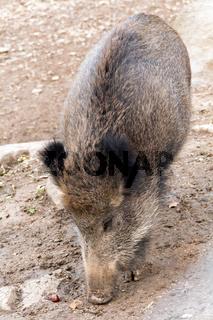 Nahaufnahme eines Wildschweins