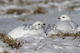 Two female Rock ptarmigan sitting in the snow after a night blizzard