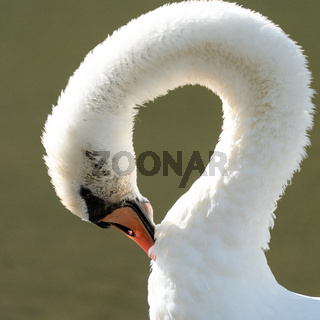 White swan, Cygnus olor