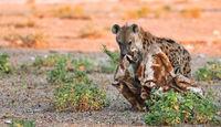 Tüpfelhyäne mit Giraffenrest, Etosha-Nationalpark, Namibia, (Crocuta crocuta) | spotted hyena with a piece of a giraffe, Etosha National Park, Namibia, (Crocuta crocuta)