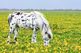 Spotted horse grazing in blooming flower meadow
