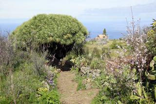 Drachenbaum (Dracaena draco) - Wanderung bei Las Tricias