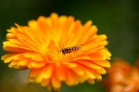 Eine Schwebfliege auf einer Blüte