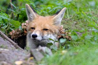 Fuchs im Fuchsbau