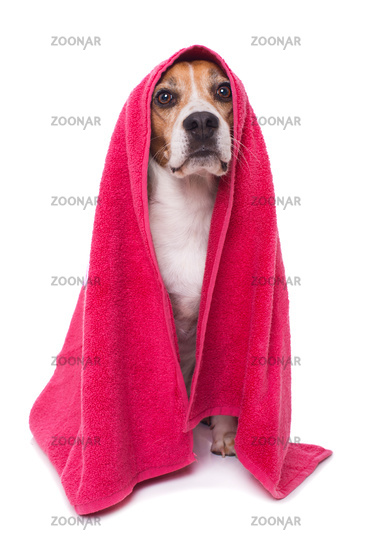 Adult beagle dog with a pink towel isolated on white background