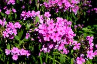 Flammenblume, Phlox in voller Blüte
