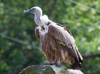 Portrait of griffon vulture (Gyps fulvus)