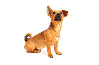 Small brown dog sitting on the floor isolated on white background. Mixed breed of parson jack russell terrier, chihuahua and german shepherd. Age 2 years.Funny dogs concept.