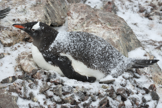 female Gentoo Penguin who sits on the nest during the spring snowfall