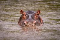 Hippopotamus in muddy pool staring at camera