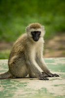 Vervet monkey sitting on wall facing camera
