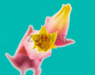 Blossoms of a houseleek flower