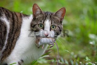 Katze mit Maus