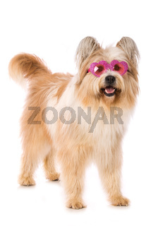 Adult elo dog on white background