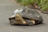 Turtle lying on grey path beside plants