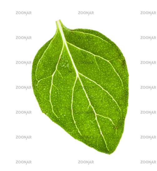 green leaf of Oregano herb isolated on white