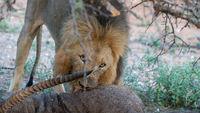 Löwe frisst einen Wasserbock in Afrika