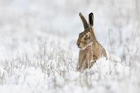Meister Lampe... Feldhase * Lepus europaeus * sitzt im Schnee