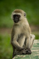 Vervet monkey on wall with grass behind