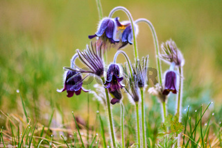 A group of Pulsatilla montana blooming on spring meadow