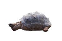 Big heavy turtle isolated on white background