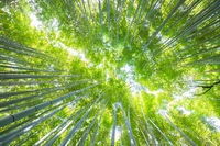 Lush vegetation in famous tourist site Bamboo forest, Kyoto, Japan.
