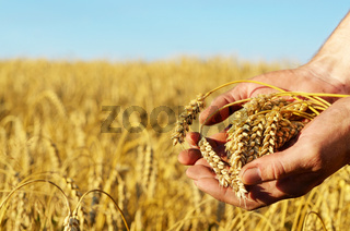 The wheat ears in farmer's hands close-up sunset time