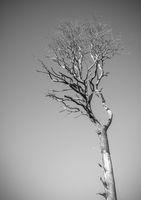 Dramatic Dead Tree