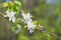 Bloooming apple tree branches. Spring orchard with close up of apple tree with flowers.
