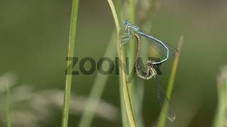 Paarungsrad Gemeine Federlibelle